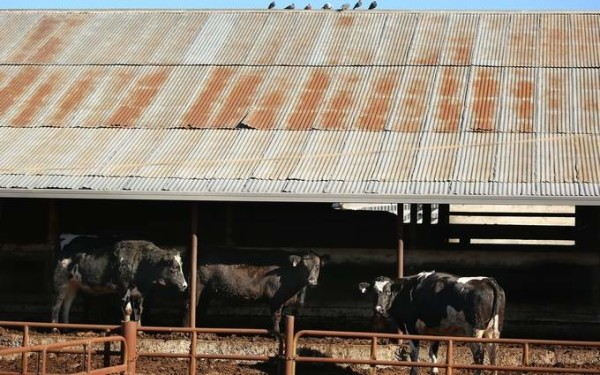 Cows wait to be butchered at Rancho Veal Corp. slaughterhouse in Petaluma on Monday, Jan. 13, 2014. The company is recalling 41,683 pounds of meat that didn't receive a full federal inspection. | CONNER JAY/Press Democrat